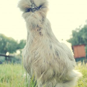Why are chickens fascinated with wide angle lenses?